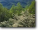 Stock photo. Caption: Flowering dogwood Blue Ridge Parkway Blue Ridge Mountains Virginia -- america mountain dogwoods trees tree mountain national landscapes landscape travel tourist destination destinations tranquil flowers spring verdant scenic drive drives scenics shrub distance vista vistas blooming bloom blossoms