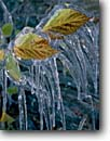 Stock photo. Caption: Icicles on Northern arrowwood Shenandoah National Park Blue Ridge Mountains Virginia -- iced icicles icicle fall autumn freeze freezing frozen cold shrub shrubs parks united states america detail details clinging leaves formed forming frigid water parks