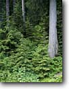 Stock photo. Caption: Western red cedar & western hemlock Deer Creek Forest Mount Rainier National Park Cascade Range,  Washington -- united states tranquil parks  landscape landscapes tourist travel destination destinations cascades  wild native plants plant cedars hemlocks trees tree forest forests rainforest temperate rainforests scene scenes scenics scenic