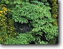 Stock photo. Caption: Yellow monkeyflower and five-finger    ferns, Ohanapecosh River Canyon Mount Rainier National Park Cascade Range, Washington -- forests mountains pacific northwest northwestern america temperate forest rainforests moss mossy refreshing Mimulus guttatus depauperatus seep verdant seeps cascades parks rainforest lush oasis green fingered plant plants native moist fresh water