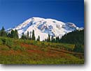 Stock photo. Caption: Blueberries in Paradise Park   and Mount Rainier Mount Rainier National Park Cascade Range,  Washington -- united states america peak tranquil parks mountains mountain peaks volcano volcanos volcanoes ranges landscape landscapes tourist destination destinations cascades fruit wild berries edible berry native plants plant fall autumn sunny clear blue snow