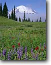 Stock photo. Caption: Broadleaf lupine and magenta paintbrush Tipsoo Lake and Mt. Rainier Mt. Rainier National Park Cascade Range,  Washington -- united states america high country highcountry summer mountains meadow meadows mountain parks garden native gardens wildflower wildflowers flower flowers cascades Lupinus latifolius Castilleja parviflora oreopola lupiines paintbrushes mount landscape