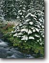 Stock photo. Caption: Rainy Creek Rainy Pass Okanogan National Forest North Cascade Range, Washington -- snow forests ranges calm tranquil pacific northwest northwestern united states america creeks stream streams fresh cascades winter tree trees covered with fresh snow weather solitude interlude snowfall storm