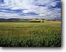 Stock photo. Caption: Wheatfields, Skyrocket Hills  near Prescott, Touchet Valley Walla Walla County Palouse, Washington -- wheatfield agriculture farm farms farming tree field palouse country pacific northwest northwestern america summer pastoral rural rolling hills harvest harvesting growing irrigated irrigation heartland agricultural crops crop family grasslands scenic