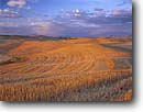 Stock photo. Caption: Wheat stubble at sunset   near Garfield The Palouse Washington -- united states ranch ranching  lines linear mowed grains planted field fields farm farms farming farmland farmlands ranch ranches ranching agriculture spring harvest harvesting harvested landscape landscapes scenic scenes grain