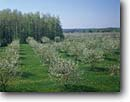 Stock photo. Caption: Cherry orchard Door County Door Peninsula Wisconsin -- united states america orchards agriculture tree fruit trees cherries farming farm spring landscape landscape sunny clear blue sky skies blooming flowering midwest midwestern harvest harvest hope soft