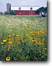 Stock photo. Caption: Flowers and barn State Highway 57 Door County Wisconsin -- landscape landscapes scenic scenics scene barns building buildings summer pastoral rural heritage agriculture barns flower daisies daisy silo silos american farm farms blanket