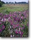 Stock photo. Caption: Sweet pea and rolled hay   near Newport Beach State Park Door County Wisconsin -- landscape landscapes scenic scenics scene summer pastoral rural heritage agriculture flower american farm farms flowers harvest harvesting