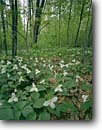 Stock photo. Caption: Large-flowered trilliums   near Richmond St. Croix County Wisconsin -- united states america plant great lakes region wildflower wildflowers trillium lily grandiflorum forest floors floor spring midwestern midwest landscape landscapes  pure white flower flowers bloom blooming lots many covered
