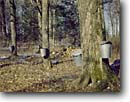 Stock photo. Caption: Sugar maples Maple syrup operation Marathon County Wisconsin -- americana nostalgic nostalgia united states america landscape landscapes scenic scenics american farms trees harvest harvesting buckets sapping gathering autumn fall winter historic great lakes sugaring