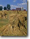 Stock photo. Caption: Oat shocks Amish farm Vernon County Wisconsin -- americana nostalgic nostalgia united states building buildings landscape landscapes scenic scenics american farms crops houses houses barn barns silo silos harvest harvesting agriculture midwest midwestern family mennonite fashioned traditional crop