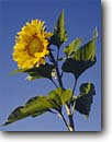 Stock photo. Caption: Sunflower Lincoln County Wisconsin -- americana united states agriculture midwest midwestern family daisy sunflowers crop crops yellow