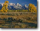 Stock photo. Caption: Cottonwoods near Gros Ventre River   and the Grand Teton Grand Teton National Park Rocky Mountains,  Wyoming -- world heritage site sites fall autumn rockies peaks mountain glacial carved parks landscape landscapes tourist travel destination destinations tree trees color colors tetons cottonwood sagebrush range sunny blue skies clear crisp cold scenic scenics