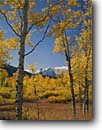 Stock photo. Caption: Aspens near Oxbow Bend   and Grand Teton Grand Teton National Park Rocky Mountains,  Wyoming -- parks america snow peak aspen fall autumn color colors range parks trees tree ranges peaks majestic landscape landscapes strength tourist travel vacation destination destinations tetons rockies crisp clear serenity serene sunny clear blue skies foliage