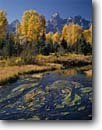 Stock photo. Caption: Snake River Valley, Schwabacher Landing   and the Grand Teton,  Teton Range Grand Teton National Park Rocky Mountains,  Wyoming -- mountains rivers fall autumn aspens peak peaks range ranges parks landscape landscapes travel tourist destination family vacation colour colours color world heritage site sites sunny blue skies clear water majestic cold eternal evolution habitat scenics
