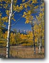 Stock photo. Caption: Aspens near Oxbow Bend   and Grand Teton Grand Teton National Park Rocky Mountains,  Wyoming -- snow peak aspen fall autumn color colors range parks trees tree ranges peaks majestic landscape landscapes tourist travel vacation destination destinations rockies tetons serene serenity solitude sunny clear blue skies world heritage site sites scenics