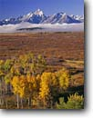 Stock photo. Caption: Aspens, Jackson Lake and Grand Teton Teton Range Grand Teton National Park Rocky Mountains, Wyoming -- dramatic vacation united states america world heritage site sites  parks rivers western landscape landscapes tourist travel destination destinations rockies autumn fall color majestic  tetons sunny clear blue sky skies foliage crisp colour colours colors