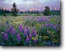 Stock photo. Caption: Silky lupine and groundsel Grand Teton,  Teton Range Grand Teton National Park Rocky Mountains, Wyoming -- tourist destination destinations attraction attractions landscape landscapes parks tetons rockies summer scenic scenics meadow meadows flowers flower wildflowers wildflowers family vacation Lupinus argentus blooming mountain trees evening light