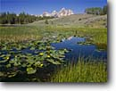 Stock photo. Caption: Yellow pond lily on Hendrick Pond   and the Grand Teton Grand Teton National Park Rocky Mountains, Wyoming -- tourist destination destinations attraction attractions landscape landscapes parks tetons rockies classic mountain scenic scenics overlooks rivers moody peak vista vistas view views