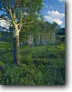 Stock photo. Caption: Aspens in the Lamar Valley Yellowstone National Park Rocky Mountains Wyoming -- parks mountain america world heritage site areas sites dramatic transitory aspen rockies sagebrush wolf habitat inspirational inspiring line tree lined meadow sunny clear blue skies clouds puffy rockys summer green meadows landscape landscapes scenic time