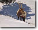 Stock photo. Caption: Rocky Mountain elk Yellowstone National Park Rocky Mountains Wyoming -- wildlife united states animal animals mammals mammal america american male antlers antler parks wild rockies portrait Alces winter snow cold endurance survival