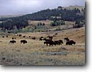 Stock photo. Caption: Buffalo Lamar River Valley Yellowstone National Park Rocky Mountains,  Wyoming -- united states america landscape landscapes clouds parks rockies mountain peak peaks western bison american animal animals grazing habitat autumn fall plains wildlife