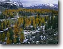 Stock photo. Caption: Subalpine larches  from Opabin Highline Trail Opabin Plateau,  Lake O
