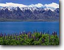 Stock photo. Caption: Russel lupine, Lake Wakatipu   and The Remarkables Southern Alps South Island, New Zealand -- southern hemisphere travels vacation spot southern flower flowers peak peaks blue skies mountain dramatic spring landscape colors colorful beauty bright travel destination destinations trips vacations lupines lakes sunny clear aqua landscape landscapes