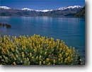 Stock photo. Caption: Yellow bush lupine Lake Wanaka Southern Alps South Island, New Zealand -- islands lupines lupinus flowers flower wildflowers wildflower arboeus lakes mountain mountains snowy snow capped spring tourist destination destinations attraction attractions landscape landscapes sunny blue skies clear striking colours colour scenics