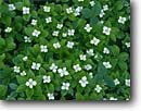 Stock photo. Caption: Bunchberry Sibley Peninsula   near Thunder Bay Ontario,  Canada -- Cornus canadensis flowers wildflower wildflowers spring delicate dainty artistic patterns pattern background backgrounds white green canadian bunchberries dogwood dogwoods detail details closeups closeups