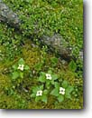 Stock photo. Caption: Twinflower and bunchberry Portage from Jesse to Maria Lakes Quetico Provincial Park Ontario,  Canada -- Cornus canadensis wildflower wildflowers forest floor canadian detail details bunchberries flowers flower spring summer