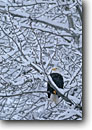 Stock photo. Caption: Bald eagle (Haliaeetus leucocephalus)   perched in snowy cottonwood Chilkat Bald Eagle Preserve Southeast  Alaska -- bird birds portrait portraits prey eagles adult habitat adults raptor raptors raptores animal animals
