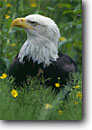 Stock photo. Caption: Bald eagle (Haliaeetus leucocephalus)   sitting in buttercups and equisetum Baranof Island Sitka,  Southeast Alaska -- bird birds portrait portraits prey eagles adult habitat adults raptor raptors raptores animal animals