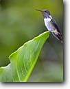 Stock photo. Caption: Volcano hummingbird (Selasphorus flammula) Talamacan Highlands Costa Rica, Central America -- bird birds portrait portraits perched wings hummingbirds flower animal animals american wing tropical tropics species