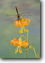 Stock photo. Caption: Beaverpond baskettail dragonfly (Tetragoneuria canis)  on leopard lily (Lilium pardalinum) Sierra Nevada Foothills, California -- portrait portraits wings flowers flower animal animals american wing insect insects bugs delicate dragonflys dragonflies linear patience enduring lonely luxurious still quiet eternal excellence forms form refreshing motivation flower flowers habitat