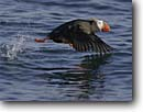 Stock photo. Caption: Tufted puffin (Fratercula cirrhata) taking off St. Lazaria Island Sitka, Southeast Alaska -- bird birds portrait portraits water habitat water puffins flying diving  animal animals flight