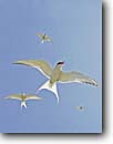 Stock photo. Caption: Arctic terns (Sterna paradisaea)  beach near Nome Alaska -- bird birds landscape landscapes waterbird habitat water tern flying  hunting animal animals determined white purity pure alaskan flight