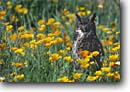 Stock photo. Caption: Great horned owl (Bubo virginianus)   in California poppies Sierra Nevada Foothills California -- bird birds portrait portraits prey owls  perched perching habitat landscape landscapes flowers flower nocturnal raptor raptors raptores hoot animal animals