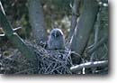 Stock photo. Caption: Long-eared owl chick (Asio otus)   in Copper