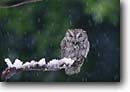 Stock photo. Caption: Western screech-owl (Medascops kennicottii)   in snow storm California -- bird birds portrait portraits prey owls habitat  winter snow nocturnal snowing raptor raptors raptores animal animals