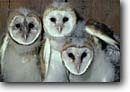 Stock photo. Caption: Common barn owl chicks (Tyto alba) Sacramento Valley California -- bird birds portrait portraits prey owls nocturnal chick baby babies three group raptor raptors raptores hoot animal animals