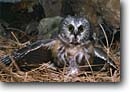 Stock photo. Caption: Northern saw-whet owls (Aegolius acadicus) Mantling prey Sierra Nevada, California -- bird birds portrait portraits prey owls habitat  nocturnal kill hunting behavior behaviour raptor raptors raptores animal animals