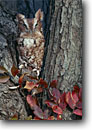 Stock photo. Caption: Eastern screech owl (Megascops asio) New Jersey -- bird birds portrait portraits prey owls habitat  nocturnal fall autumn tree trees raptor raptors raptores animal animals