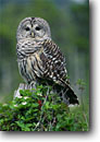 Stock photo. Caption: Barred owl (Strix varia) Bunchberry covered stump Baranof Island Alaska -- bird birds portrait portraits prey owls habitat  nocturnal raptor raptors raptores animal animals