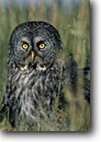 Stock photo. Caption: Great gray owl (Strix nebulosa)   near Bend Oregon -- bird birds portrait portraits prey owls habitat  nocturnal grey raptor raptors raptores hoot animal animals