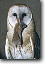 Stock photo. Caption: Barn owl (tyto alba) Sacramento Valley California -- bird birds portrait portraits prey owls habitat nocturnal perched perching with kill mouse food feeding hunting rodent mouth raptor raptors raptores hoot animal animals success