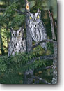 Stock photo. Caption: Young western screech-owls (Medascops kennicottii) Sierra Nevada California -- bird birds portrait portraits prey owls habitat nocturnal perched perching trees tree  screech baby babies juvinile juviniles immature inmature raptor raptors raptores animal animals