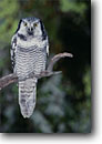 Stock photo. Caption: Northern hawk owl (Surnia ulula)   in woods near Woodstock Vermont -- bird birds portrait portraits prey owls habitat nocturnal raptor raptors raptores  perched perching trees tree animal animals