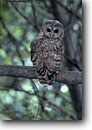 Stock photo. Caption: Northern spotted owl (Strix occidentalis caurina) Sierra Nevada Foothills California -- bird birds portrait portraits prey owls habitat nocturnal perched perching trees tree  endangered species raptor raptors raptores animal animals