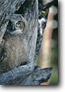 Stock photo. Caption: Great horned owl chick (Bubo virginianus)  with adult in background Sierra Nevada, California -- bird birds portrait portraits prey owls habitat nocturnal perched perching trees tree species baby babies chicks parent parents raptor raptors raptores hoot animal animals